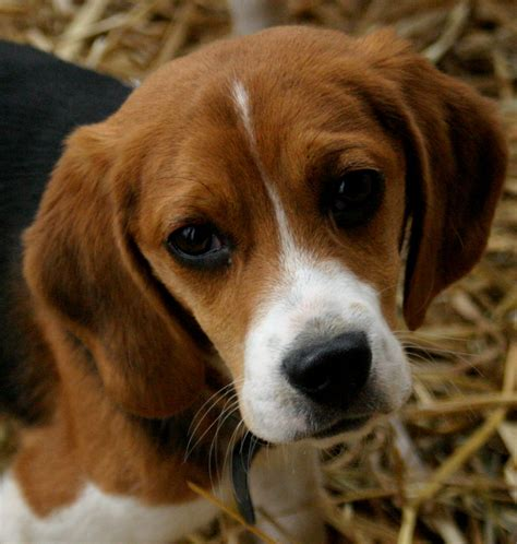 beagle puppies for adoption boston terrier puppy names puppies puppy