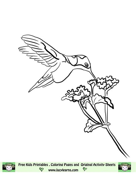 hummingbird coloring page hummingbird line free hummingbird coloring page