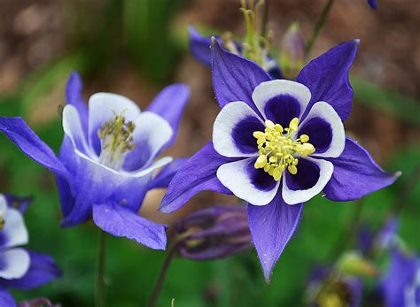 cute 400 aquilegia purple granny s bonnet columbine flowers garden seeds ebay
