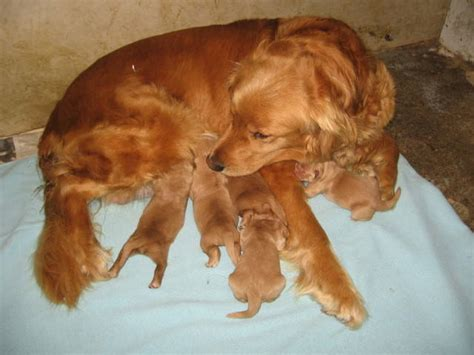 golden retriever puppies for adoption in california purebred golden retriever puppies for sale adoption from katowice adpost