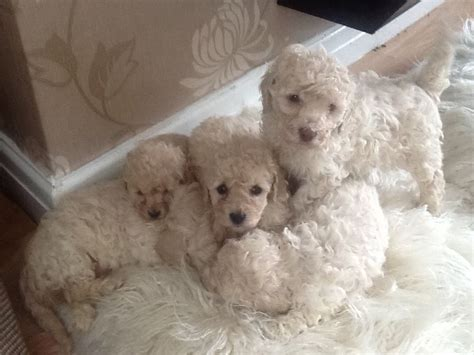 poodle for sale minature poodles for sale wigan greater manchester pets4homes