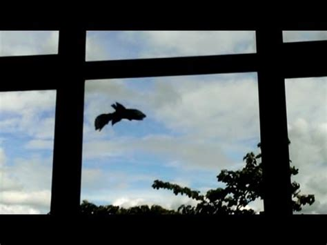 crazy birds hit windows over and over again youtube