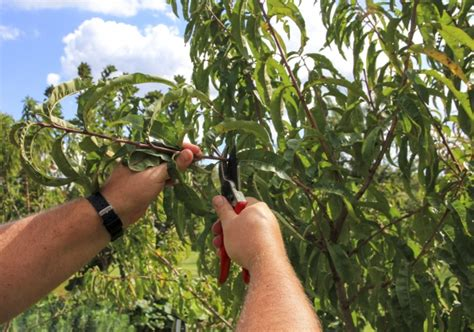summer prune fruit trees organic gardener magazine australia