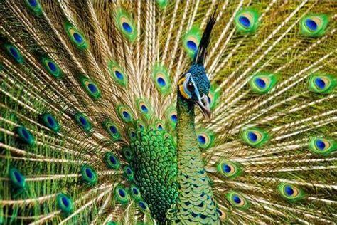 merak hijau karakteristik burung merak biru hijau putih dan hitam