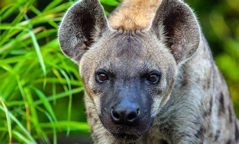 imagenes epicas de animales hiena manchada zoo barcelona