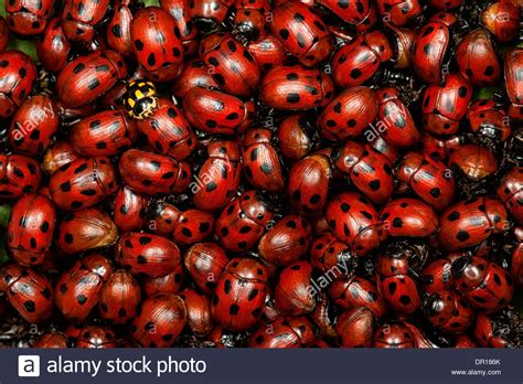 lade a pile a pile of ladybugs stock photo royalty free image