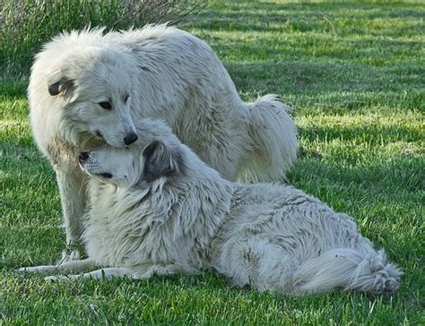 Do Pyrenees Shed by Colorado Great Pyrenees Rescue Community What Are The