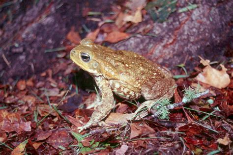 frogs to dogs bufo marinus a frog that can kill your panama guide