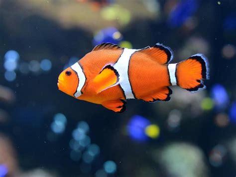 imagenes niños nadando peces payaso como nemo nadan enormes distancias cuando son