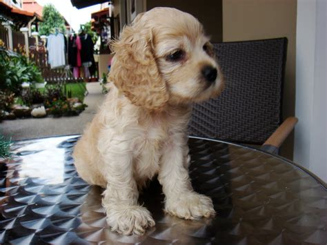 Puppies Land: Champion Lineage American Cocker Spaniel ...