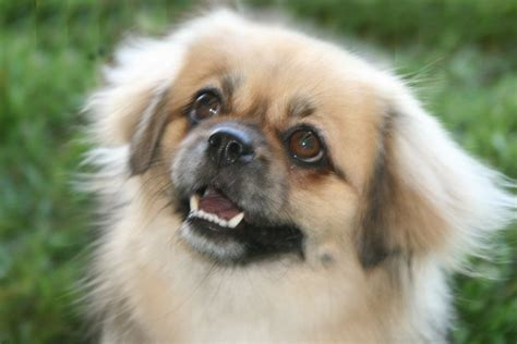 pictures of small puppies all small dogs images tibetan spaniel wallpaper and background photos 14496793