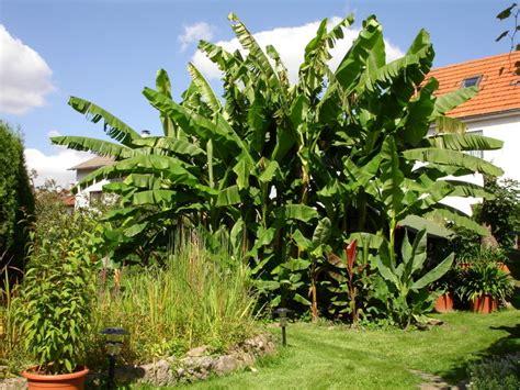 palmen im garten pflanzen bananenstauden im garten bild foto roland reineck