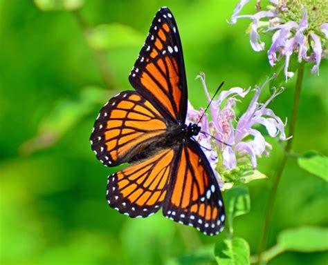 imagenes sobre mariposas m 225 s de 1000 im 225 genes sobre rosas en pinterest mariposas