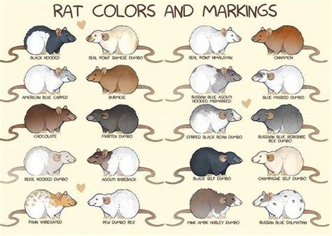 rat colors colors boys and my boys on