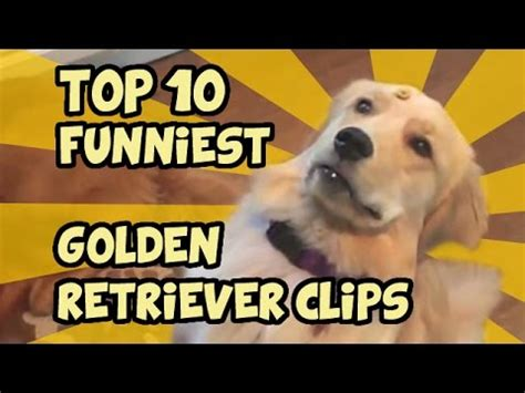 guilty golden retriever denver fritz learns to catch compilation 1 doovi