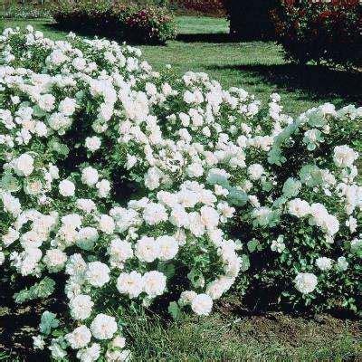 white rose bushes trees bushes  home depot