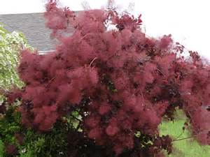 smokebush cotinus coggygria careann s musings