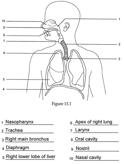 Anatomy And Physiology Respiratory System Worksheet