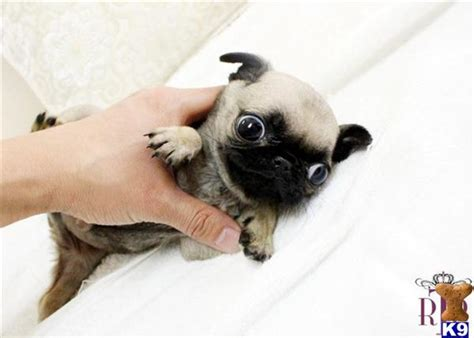 teacup pugs puppies for sale pug puppy for sale royal teacup pug puppy 7 years