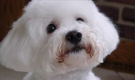 bijon puppy bijon poodle puppies breeds picture