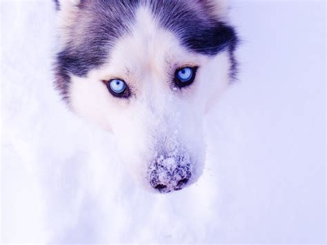 husky wallpaper blue eyes husky eyes snow winter wallpaper 3648x2736 228561