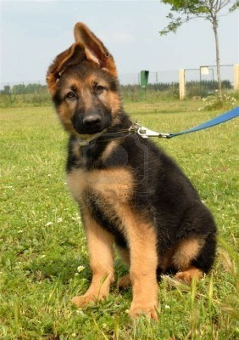 pastor aleman puppy cachorros pastor aleman cachorros pastor