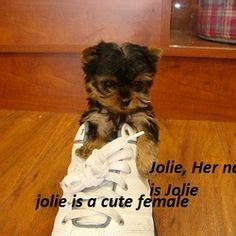 yorkie for cheap price 1000 images about teacup yorkies available at cheap prices on
