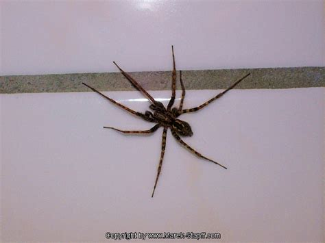 big spider in bathroom marek s picture collection large spider in the bathroom