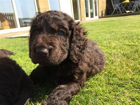 water spaniel puppies water spaniel puppies