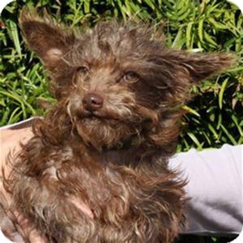 yorkie schnauzer mix information riina courtesy adopted puppy redondo ca yorkie terrier