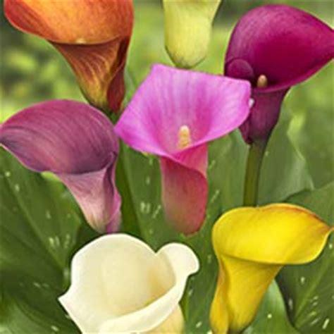 calla care uk 28 images cheap calla lily bulbs buy white calla lily bulbs cheap