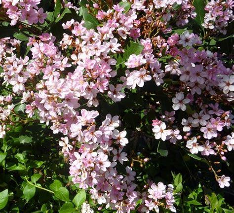 siepi da giardino sempreverdi piante da siepi sempreverdi siepi siepi sempreverdi