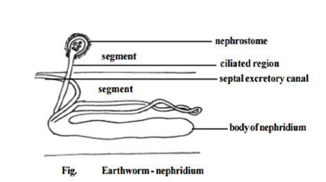earthworm diagram nephridia earthworm excretory system study material lecturing