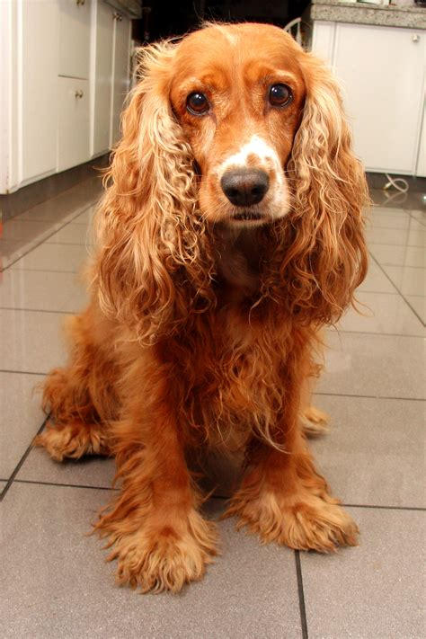 cocker spaniel file home cocker spaniel jpg