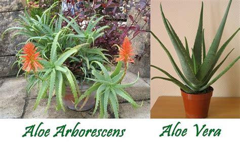 aloe in vaso aloe arborescens coltivazione aloe coltivare l aloe