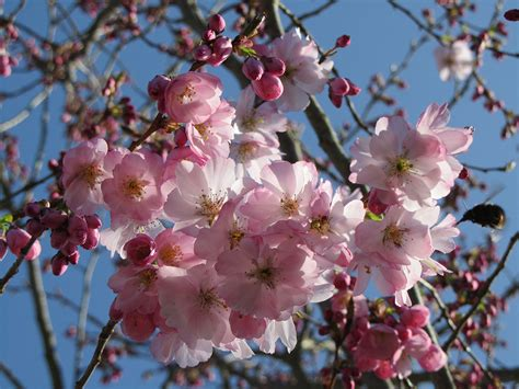 Pruning Flowering Shrubs - pink flowering cherry prunus accolade 171 chew valley trees