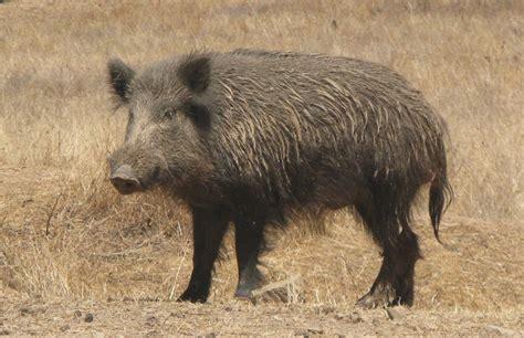 imagenes de animales jabali nueva irrupci 243 n de un jabal 237 en un parque esta vez en