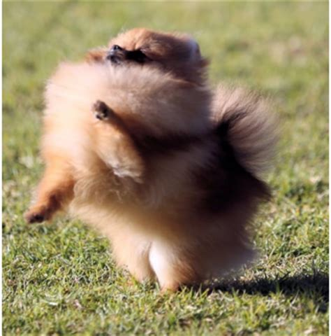 pomeranian breeders nsw ferona kennels australian cattle collie pomeranian breeder nr yass nsw