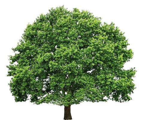 transparent tree image gallery tree textures