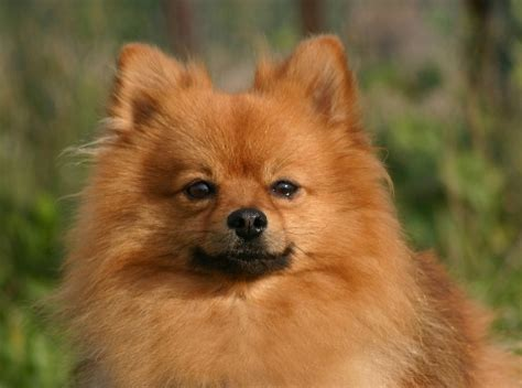 pomeranian picky eater the cutest small breeds on earth 183 page 2 of 6 183