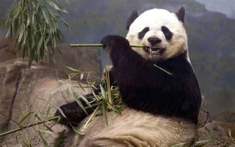 imagenes de osos wallpaper oso panda wallpaper wallpapers wallpapers