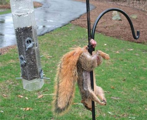 squirrel hung by nuts practical tips for squirrel early season the best and most complete tips