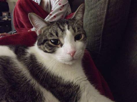 american wirehair cat breeders 25 best ideas about american wirehair on laurel burch cat and cat paintings