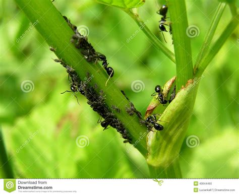 do ants eat aphids ants eat aphids stock photo image 40644460