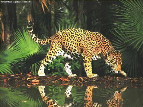 imagenes jaguares selva jaguar