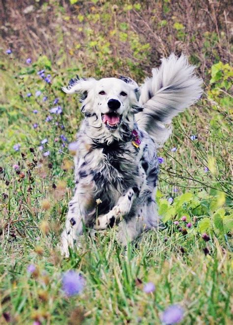 spanish setter dog the first strains of english setters were developed in