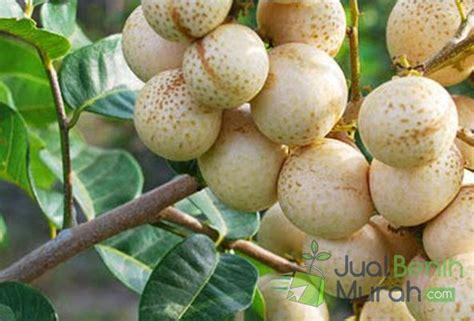Bibit Tanaman Kelengkeng Aroma Rasa Durian kelengkeng aroma durian jualbenihmurah