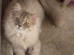Grand Sofa Gatos Persas Mundogatos Com