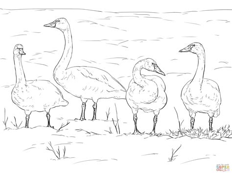 tundra swans coloring page free printable coloring pages