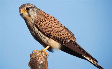 sokolirish blog the kestrel was allowed to fly off after authorities